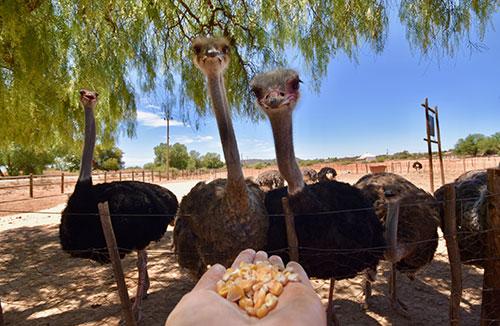 Granja de avestruces + Hato Caves